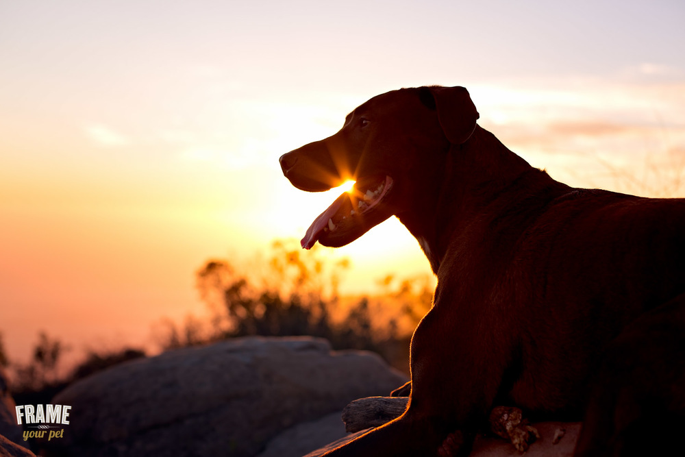 dog-portrait-at-sunset.jpg