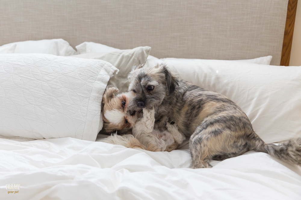 dogs-playing-together-on-bed.jpg