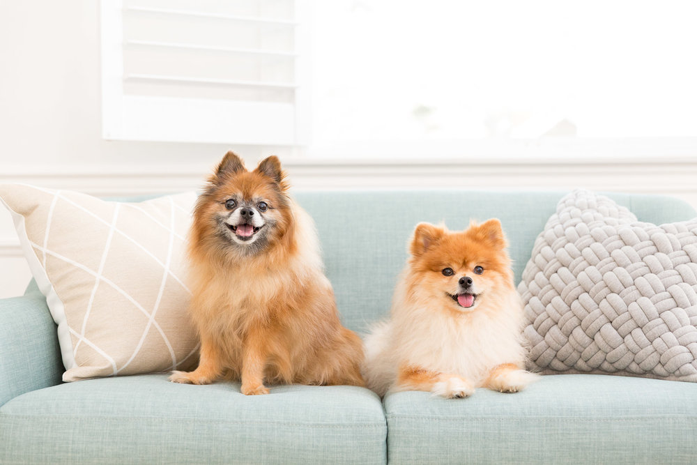 pomeranian-dogs-sitting-on-couch-dog-photography.jpg