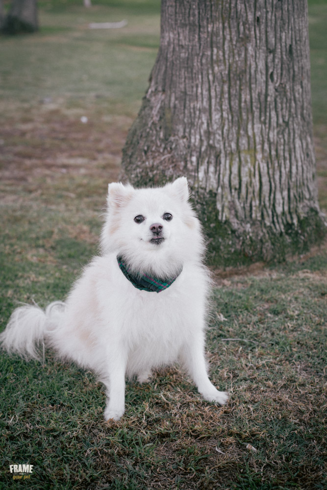 white-pomeranian-dog-photography-santa-monica.jpg