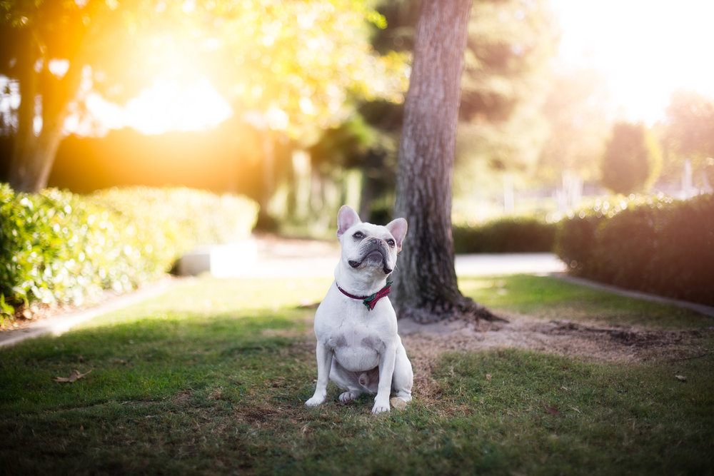 holidays-mini-sessions-xmas-event-french-bulldog-pet-photography.jpg