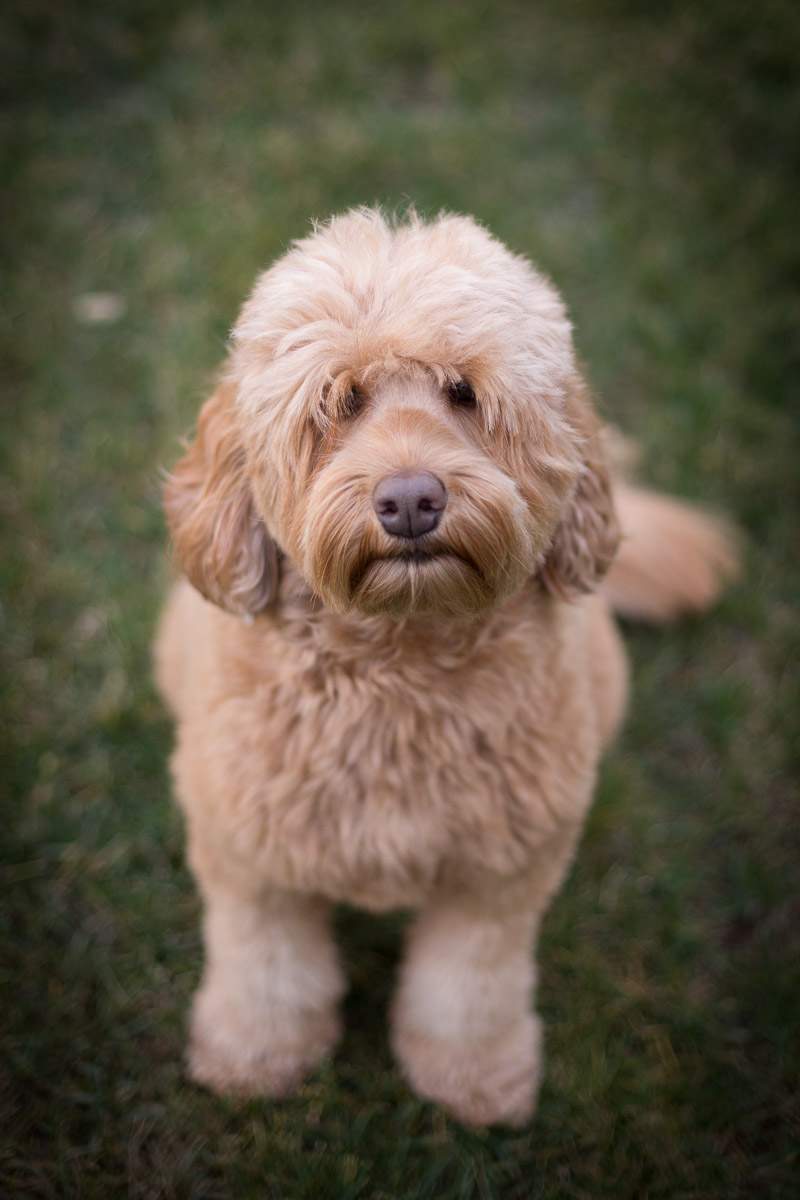 labradoodle-dog-photo-pet-photographer-los-angeles-commercial-photography.jpg