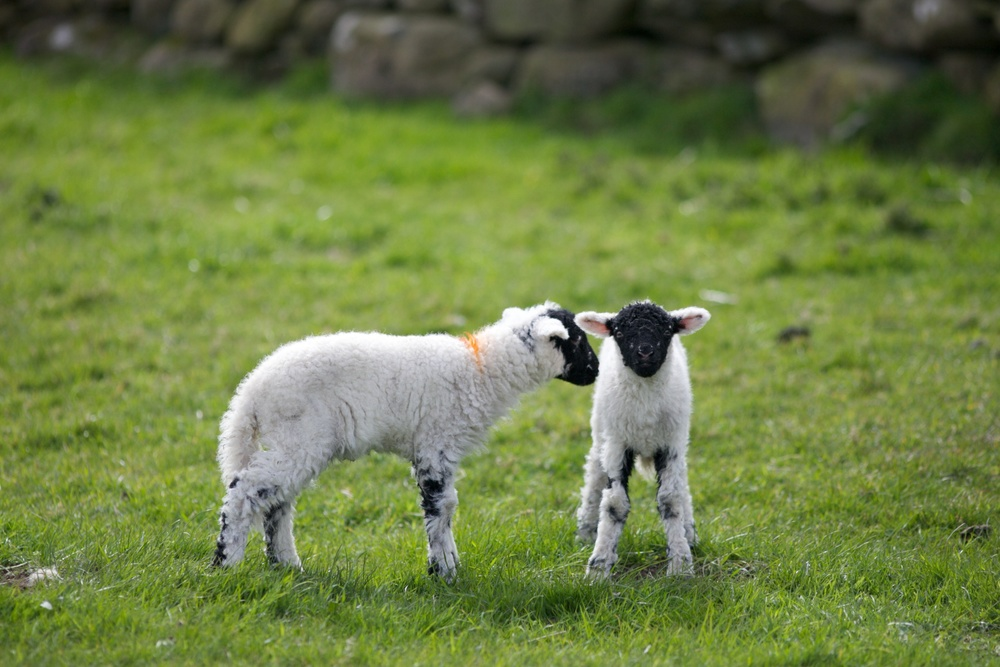lake district lambs.jpg