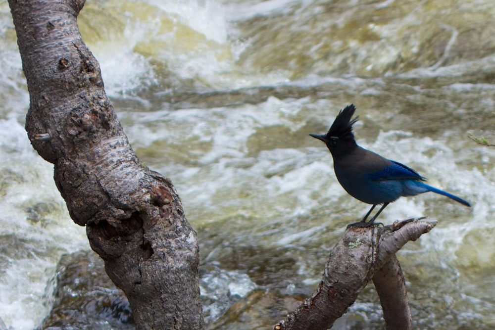 Steller's jay, Rocky Mountain National Park, 30 May