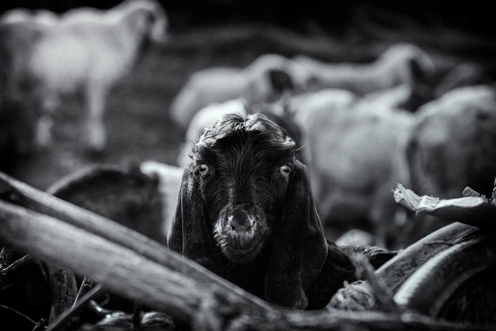 Goat in a Pen