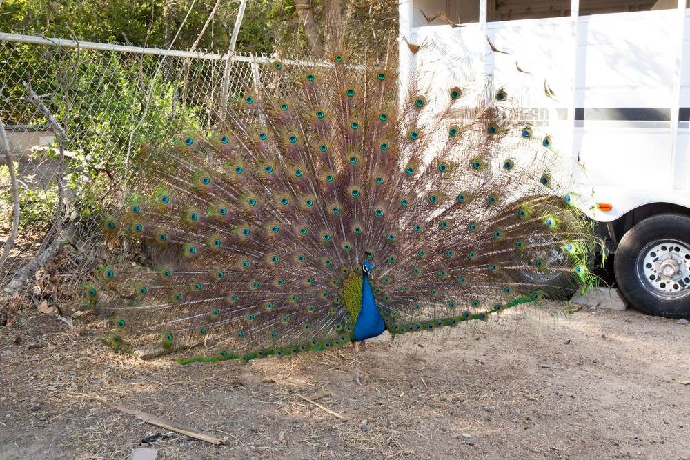 PeacockHill-003.jpg