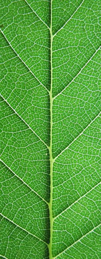 W41_leaf_01.jpg