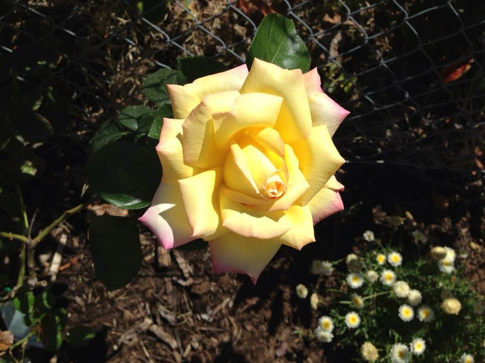 Beryl's beautiful rose!