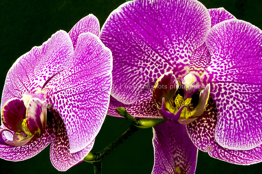 Kathys Orchid.jpg