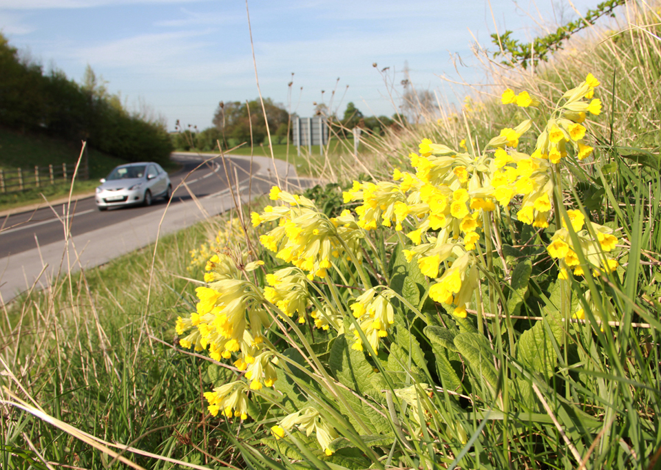 Cowslips on Paradise Way, Bramham