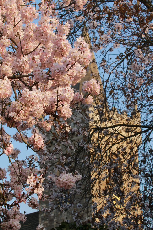 All Saints Church through cherry blossom