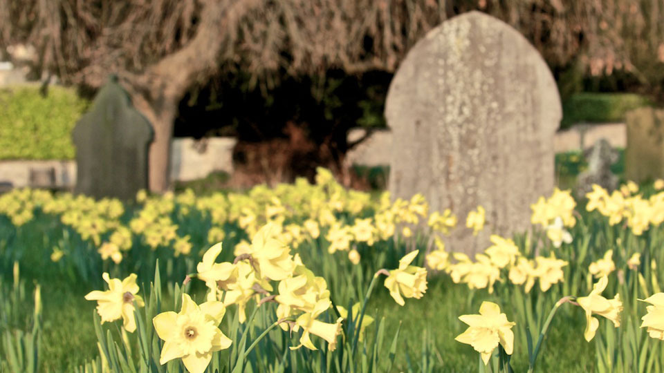 Daffodils at All Saint's Church