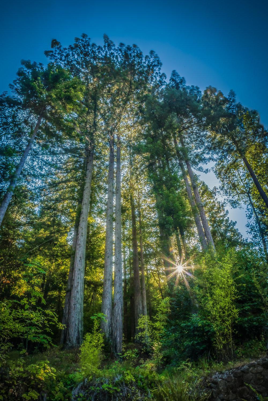 Lightning Redwoods-3448 x 4592.jpg