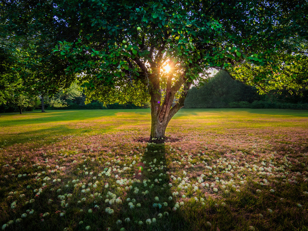 Sawyer Apple Tree at Sunset-4478 x 3358.jpg