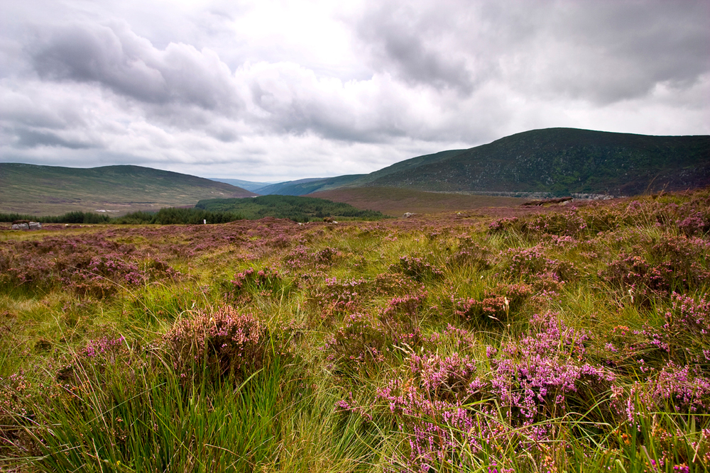 fields-of-heather,-Wicklow-Gap.jpg