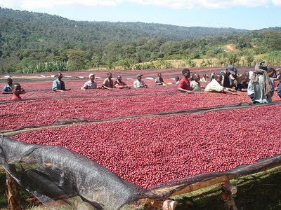 Coffee+beans+drying.jpg