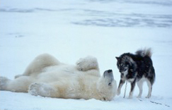 Norbert Rosling photographed a domestic Husky and wild polar bear playing in Manitoba, Canada, 2008.