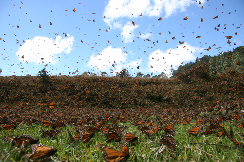 Every year, Monarch butterflies migrate from central Mexico to the United States and Canada.  It requires several months and multiple generations of butterflies to make it to the northern United States and Canada.  It's likely that only the great 'grandchildren' of the butterflies Miguel followed, made it that far. Photo credit:  SK Films.