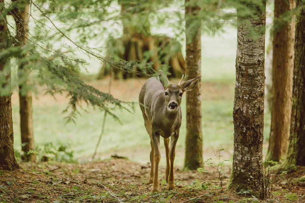Mt Rainier wild deer