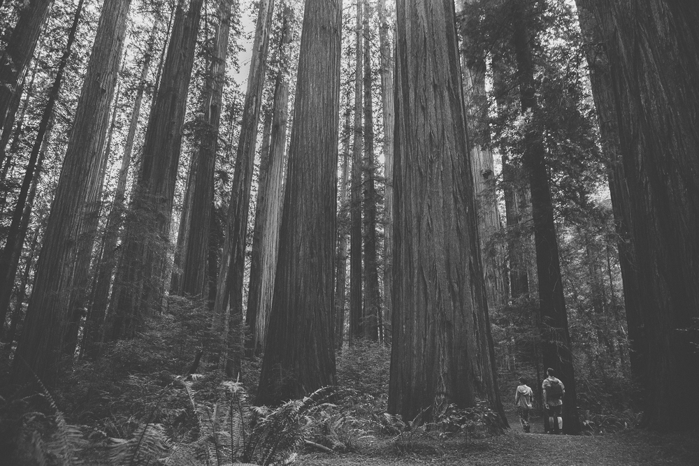 Amazing California redwoods photography