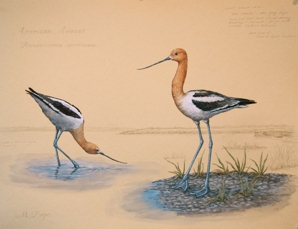 Avocet on Coastal Carolinas I