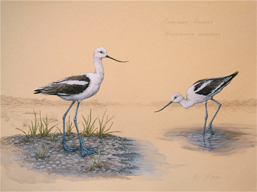 Avocet on Coastal Carolinas II