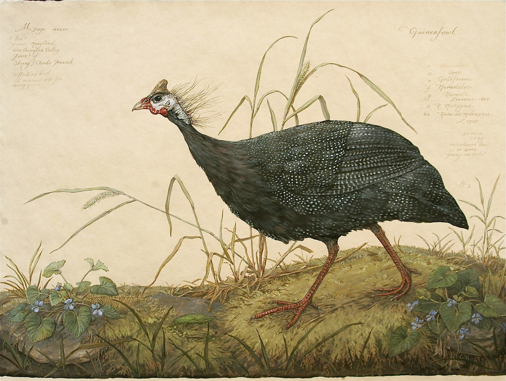 Guineafowl on Moss.jpeg