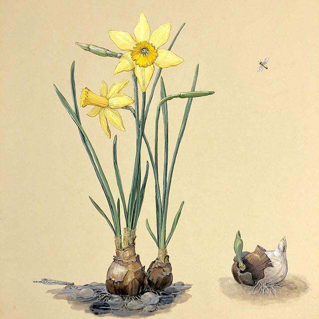Forced seems a tad harsh, let's say I coaxed this bulb .... nudged the narcissus from it's slumber...the hungry winter heart will find a way. Damselfly & bee supply the buzz of warmer days.  #botanical #watercolor #naturalista #narcissus #damselfly #bee #honeybee #flowers #flowerdots #forcedbulbs #bulbs #sttimothyschool #twinrockerpaper #calligraphy #walnutink