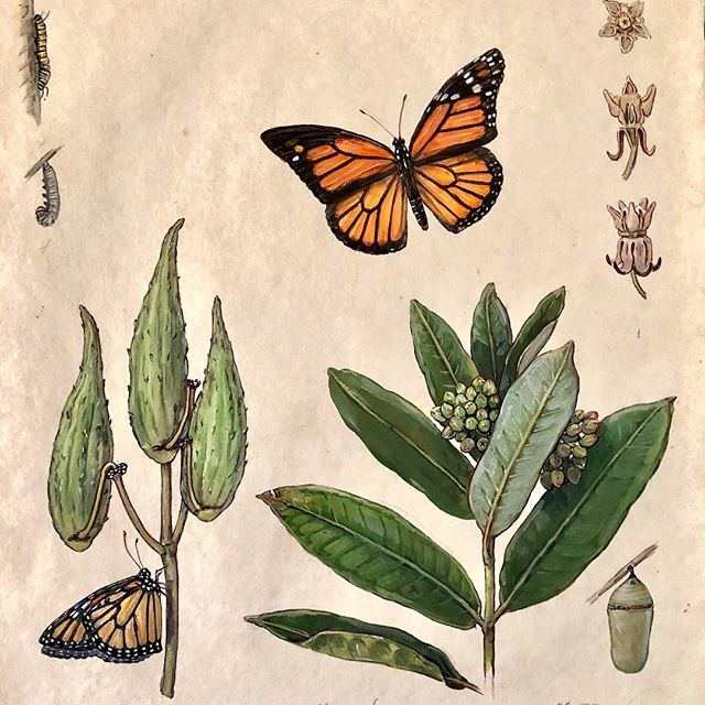 """Monarch and Milkweed""  First summer studies of plant and insect"