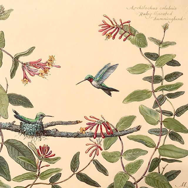 """Hummingbird Pair Nested in Native Honeysuckle""  10""x 14""ish.  Watercolor on buff handmade paper ... #megpage  #artforsale #nativebirds  #hummingbird #honeysuckle #nativehoneysuckle #bird #watercolor #naturalista #naturalist #painting #paintingoftheday #nativebirds #art #artistsoninstagram #artwork #artofinstagram #artgallery #artistsoninstagram #gifts"