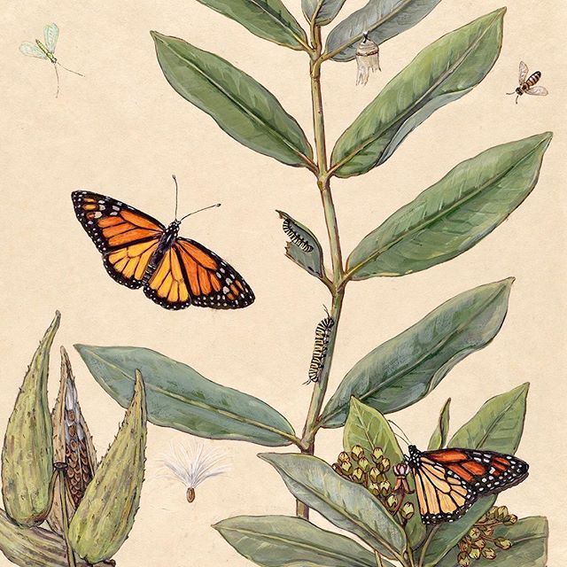 """Monarch & Milkweed""  2 life size monarchs/ 2 caterpillars/honeybee/ lacewing/ plant stem/seed pods/ blossoms  11""x14"" watercolor on vellum deckled edge handmade paper.  Walnut sepia ink calligraphy naturalist notes.  Painting done from life, late summer/fall 2018.  Available now, message for price list.  #monarchbutterfly #milkweedformonarchs #milkweed #butterfly #nativeplants #naturalista #naturalist #naturalistart #watercolor #watercolorpainting #painting #paintings #paintingsforsale #art #artistsoninstagram #artgallery #galleryart #giftideas #gift #paintingoftheday  #botanicalart #botanical #botanicalillustration #garden #nybg #kewgardens #interiordesign #interiordesignlondon"