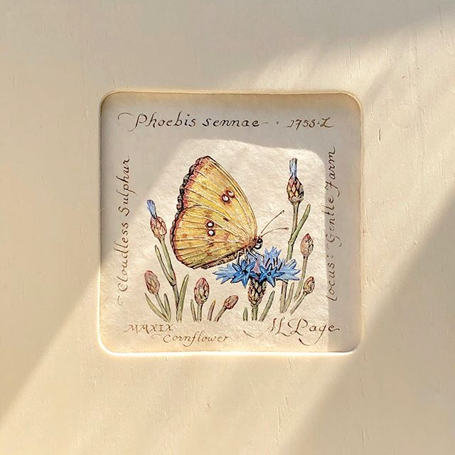 "#1 ""Cloudless Sulphur Flutterby"" on cornflower  watercolor 3.5x3.5"" sepia walnut ink naturalist notes #2 ""Cloudless Sulphur on Flower"" . . . . #insects #butterfly #botanicalart #gardenart #naturalist #flutterby #art #artist #artistsoninstagram #contemporaryart #paintingsforsale #watercolor"