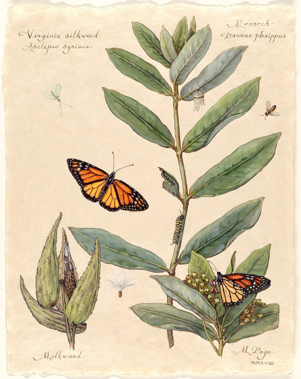 """Monarch on Virginia Silkweed I  Milkweed Plant with Blossoms and Seed Pods Bee and Lacewing   11""""x14"""" sheet – $180"""