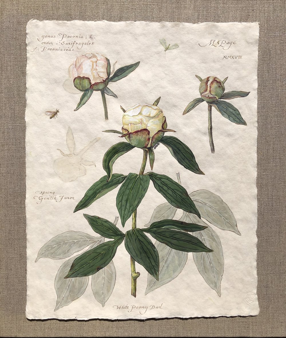 """White Peony Buds with Lacewing and Bee    11""""x14"""" sheet – $180"""