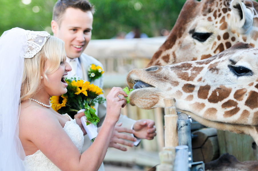 bride feeding a giraffe at her wedding | Cheyenne Mountain Zoo wedding | photo by Trystan Photography
