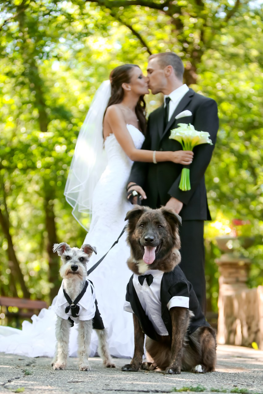 Dogs as Ring Bearers - the cutest! From a Canadian Real Wedding / Photo by Carrie Ekosky Photography — Wedding Designed by Madeline's Weddings & Events