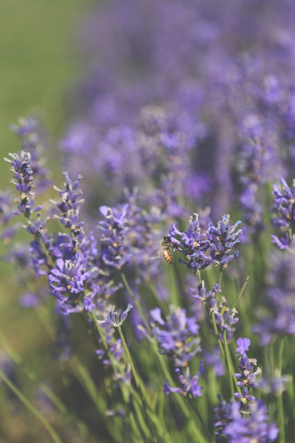 Also on Washington Island sits a lovely little lavender farm. I. Love. Lavender. Did you know lavender caramels are delicious?