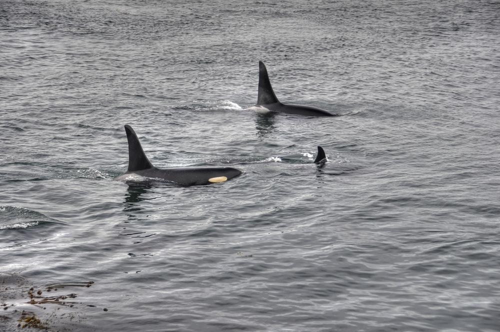 Orcas of J-pod , Lime Kiln Park