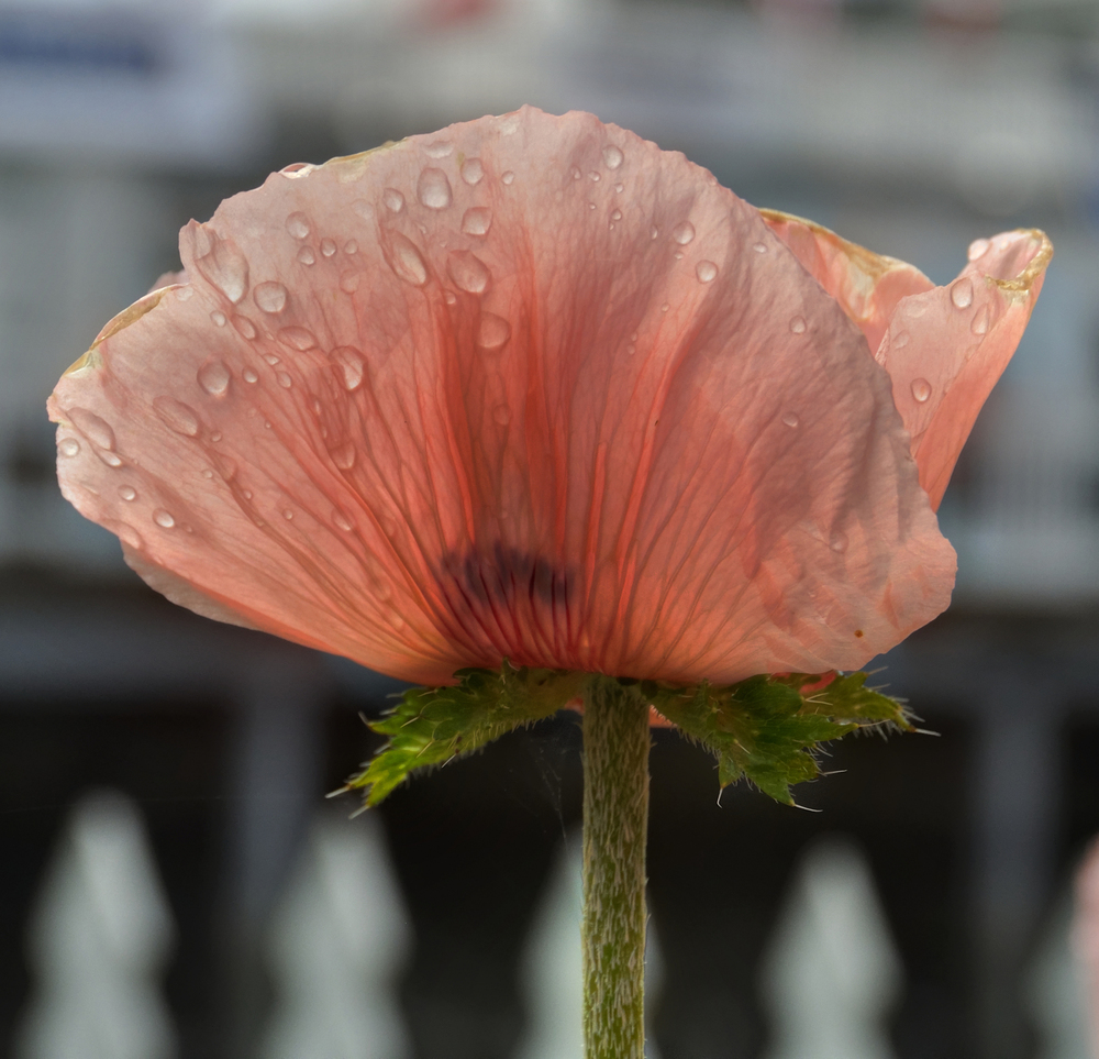 Poppy in Roche Harbor