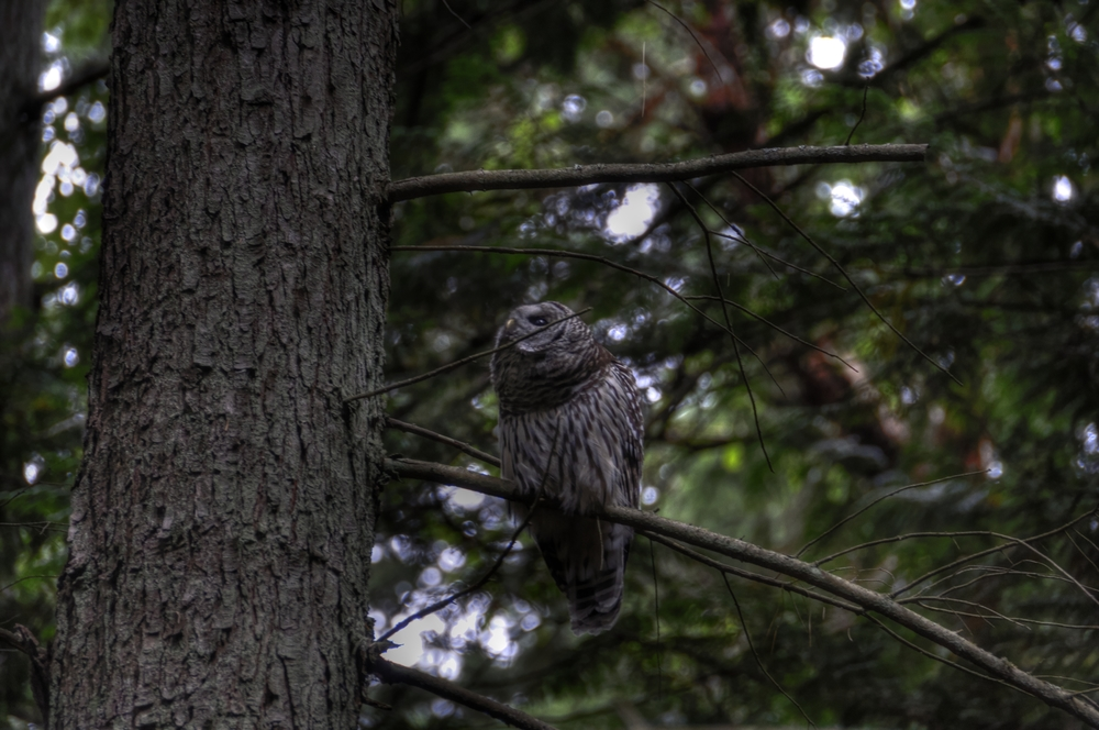 _DSC1237__barredowl_tonemapped.jpg