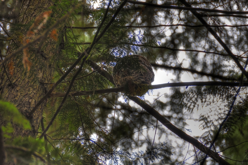 _DSC1250__barredowl_tonemapped.jpg