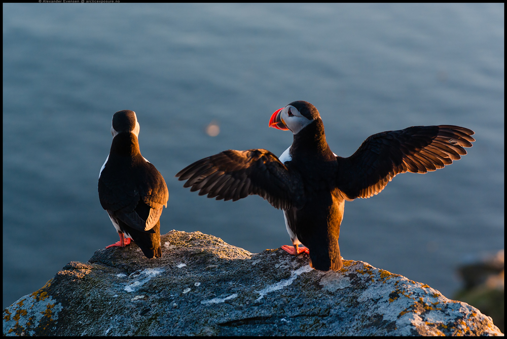 Photographing Puffins at Runde