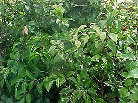 eugenia-copacabanensis1.jpg