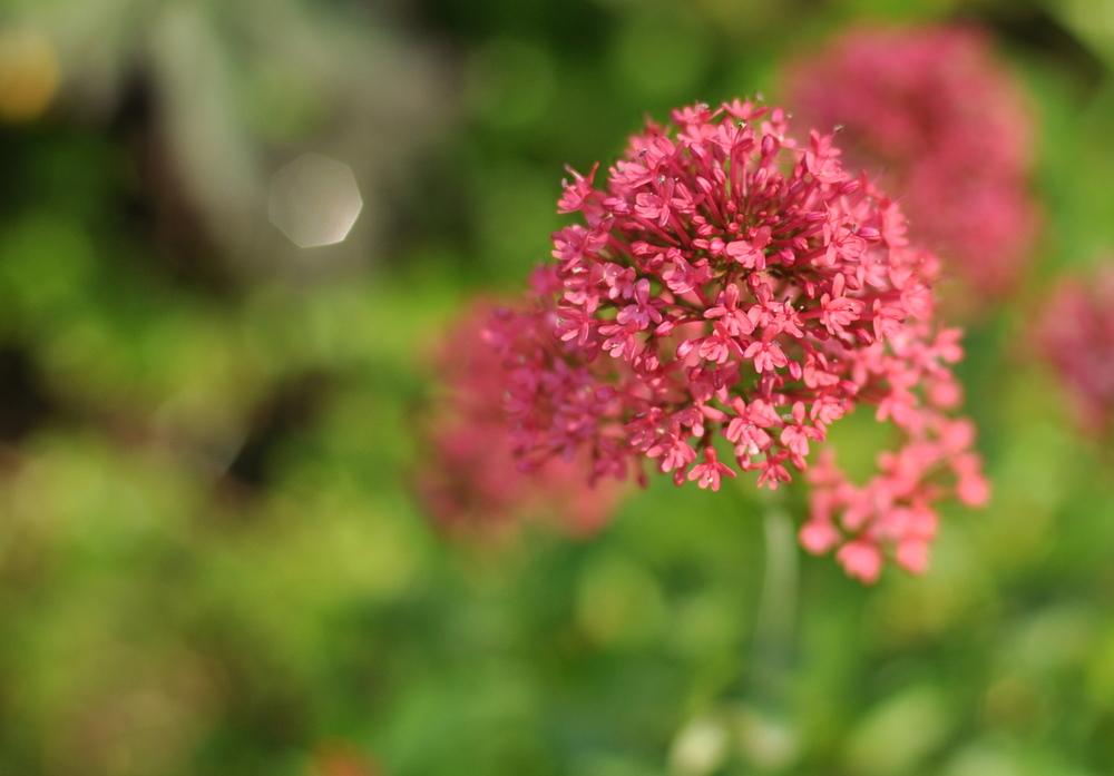 pink flower 50mm prime lens