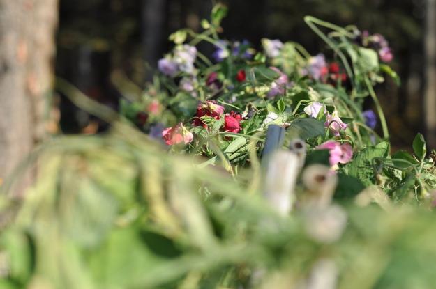 sweet pea garden farm