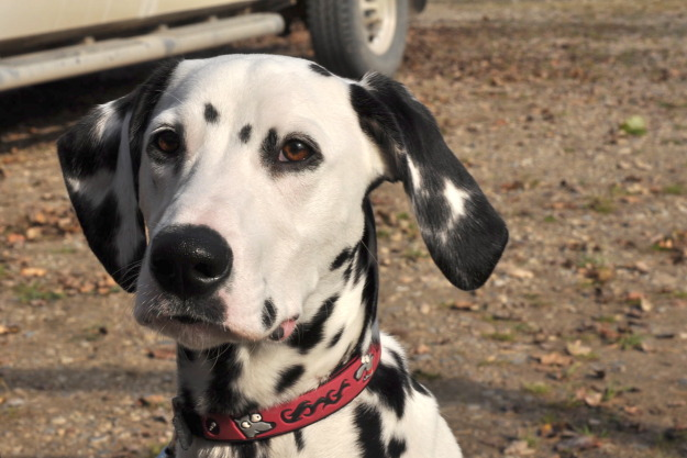 country dog farm dalmation