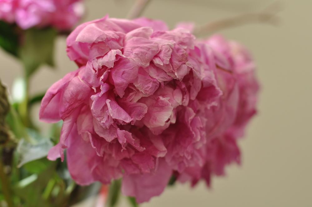 pink peony 50mm