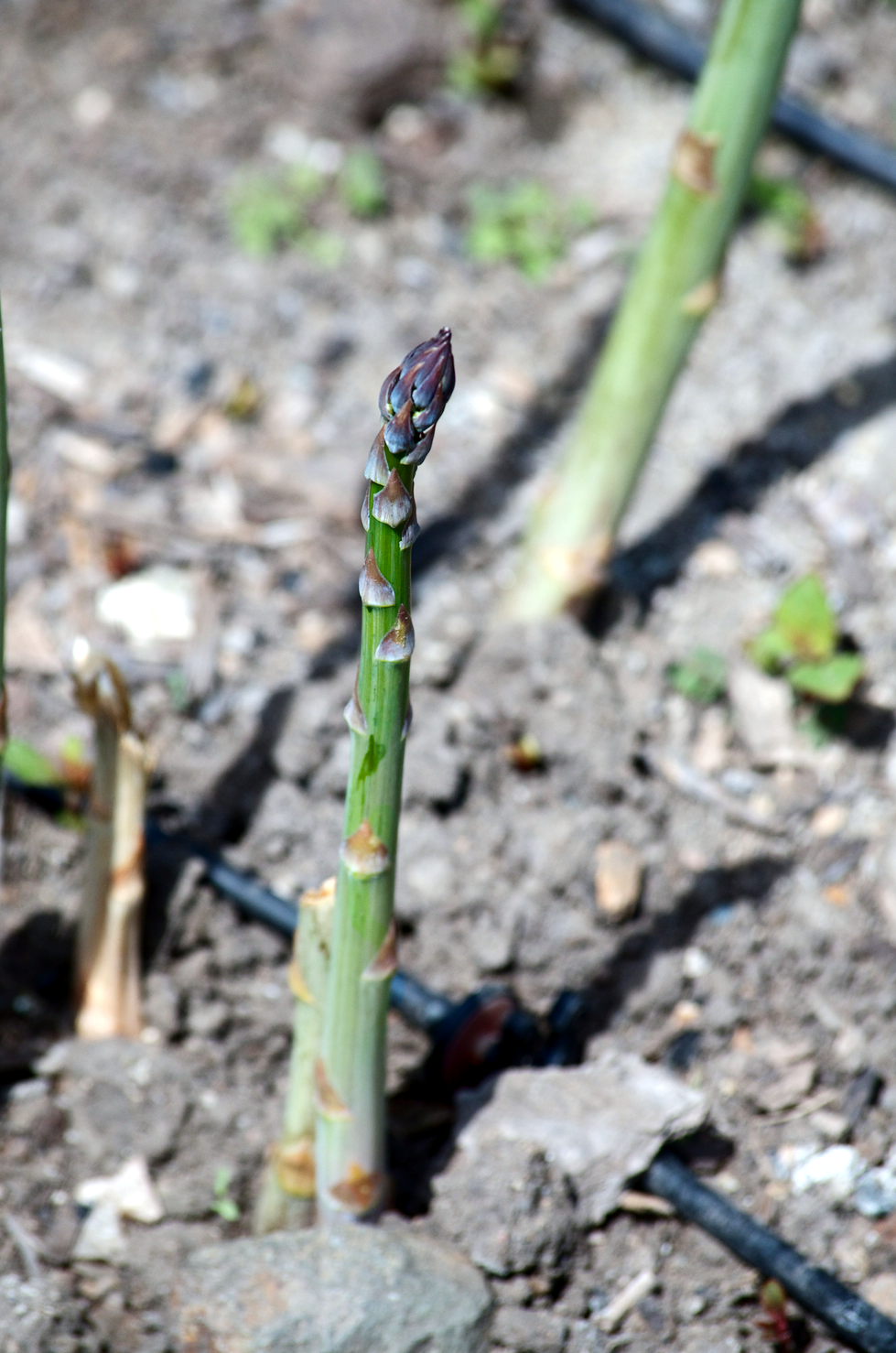 berkeleyrebel_asparagus.jpg