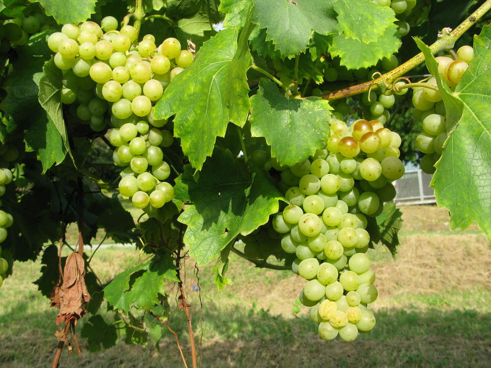 The Famoso grapes saved from extinction