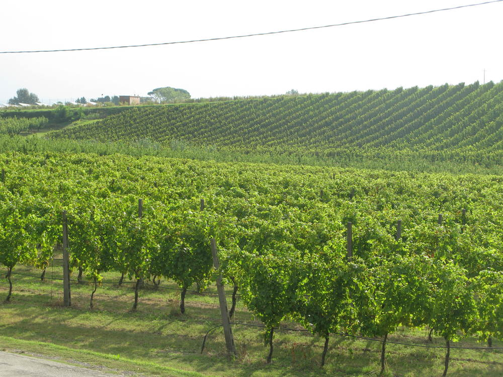 New Famoso vines at La Sabbiona